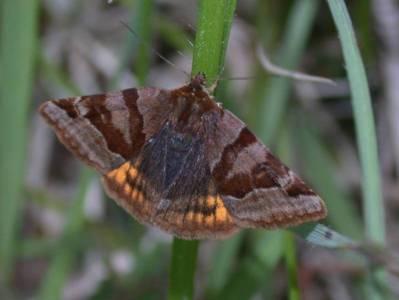 Euclidia glyphica [Famille : Noctuidae]