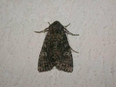 Mamestra brassicae [Famille : Noctuidae]