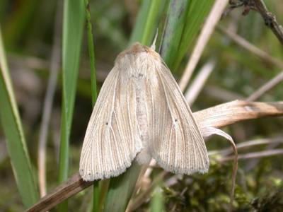 Mythimna pallens [Famille : Noctuidae]