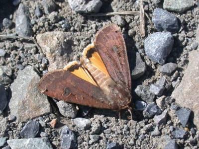 Noctua orbona [Famille : Noctuidae]