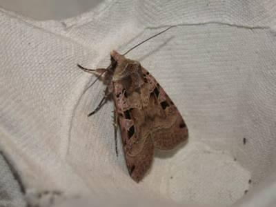 Xestia triangulum [Famille : Noctuidae]