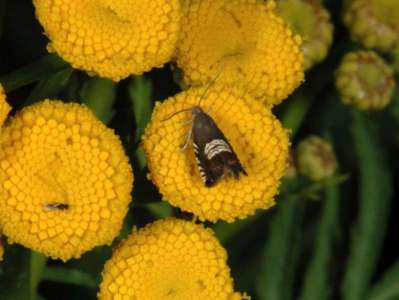 Grapholita compositella [Famille : Tortricidae]