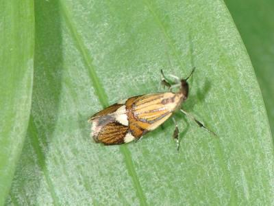 Alabonia geoffrella [Famille : Oecophoridae]
