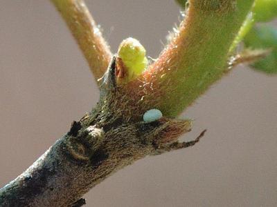 Celastrina argiolus [Famille : Lycaenidae]