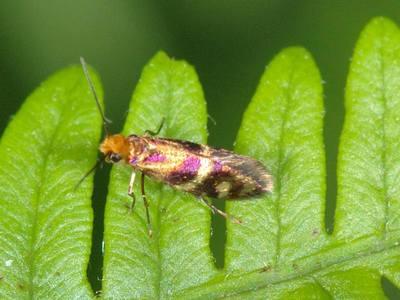 Micropterix tunbergella [Famille : Micropterigidae]