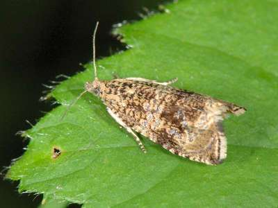 Celypha lacunana [Famille : Tortricidae]