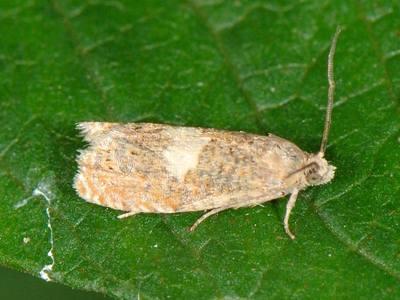 Epiblema sticticana [Famille : Tortricidae]
