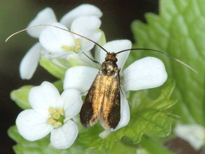 Cauchas rufimitrella [Famille : Adelidae]
