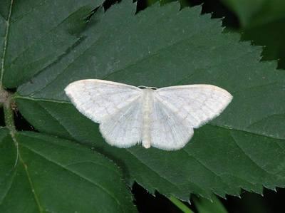 Scopula floslactata [Famille : Geometridae]
