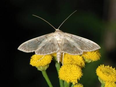 Pleuroptya ruralis [Famille : Pyralidae]