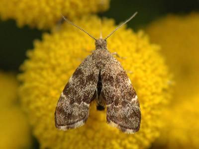 Anthophila fabriciana [Famille : Choreutidae]