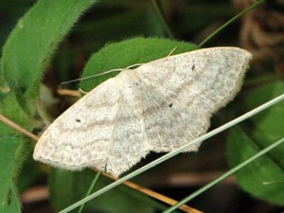 Scopula nigropunctata [Famille : Geometridae]