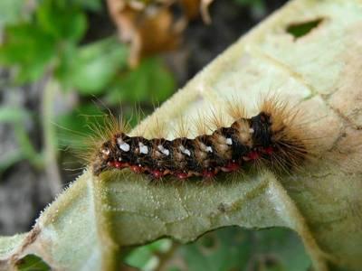 Acronicta rumicis [Famille : Noctuidae]