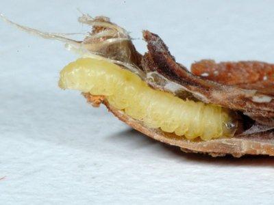 Cydia strobilella [Famille : Tortricidae]