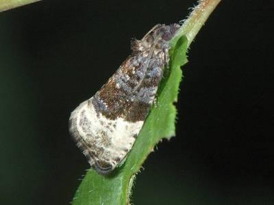 Hedya nubiferana [Famille : Tortricidae]