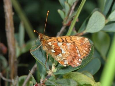 Boloria aquilonaris [Famille : Nymphalidae]