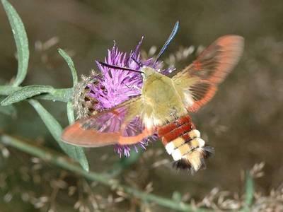 Hemaris fuciformis [Famille : Sphingidea]