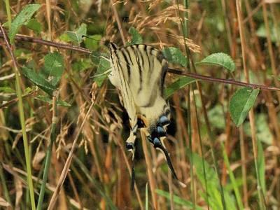 Iphiclides podalirius [Famille : Papilionidae]