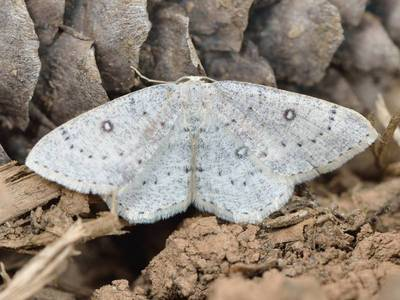 Cyclophora albipunctata [Famille : Geometridae]