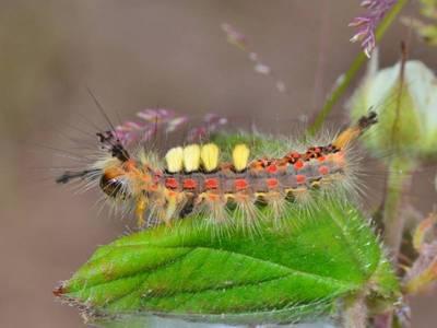 Orgyia antiqua [Famille : Lymantriidae]