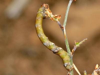 Biston strataria [Famille : Geometridae]