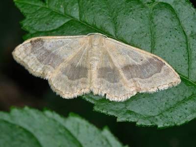 Idaea aversata [Famille : Geometridae]