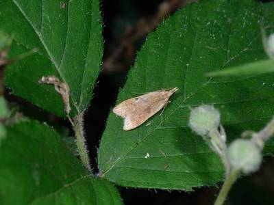 Dichomeris derasella [Famille : Gelechiidae]