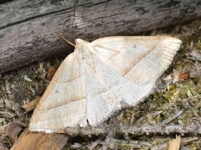 Petrophora chlorosata [Famille : Geometridae]