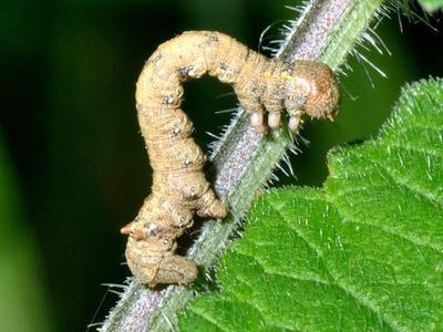 Colotois pennaria [Famille : Geometridae]