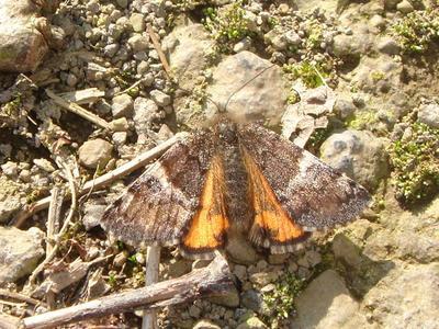 Archiearis parthenias [Famille : Geometridae]