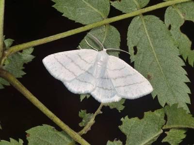Cabera pusaria [Famille : Geometridae]