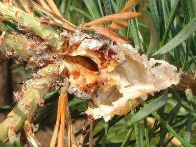 Retinia resinella [Famille : Tortricidae]