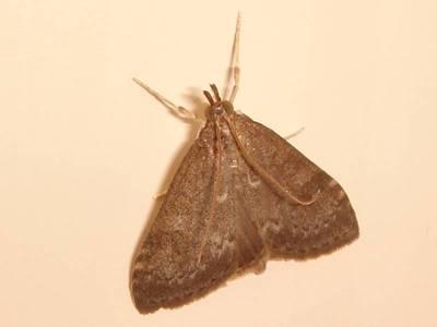 Udea prunalis [Famille : Crambidae]