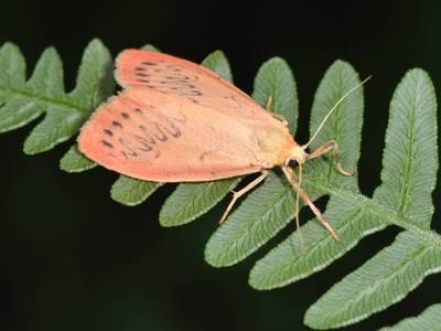Miltochrista miniata [Famille : Arctiidaea]