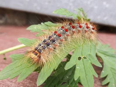 Lymantria dispar [Famille : Erebidae]