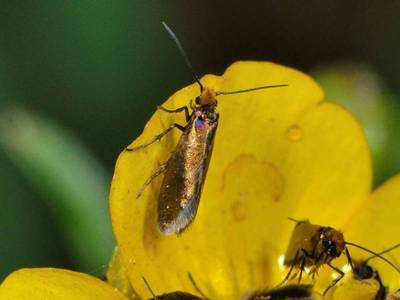 Micropterix calthella [Famille : Micropterigidae]