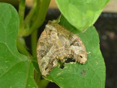 Phlogophora meticulosa [Famille : Noctuidae]
