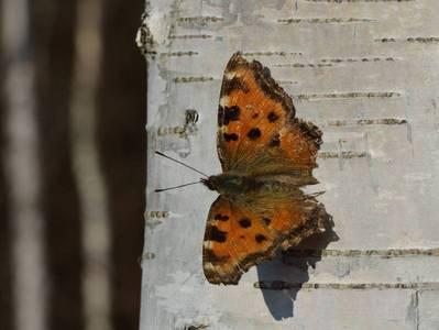 Nymphalis polychloros [Famille : Nymphalidae]