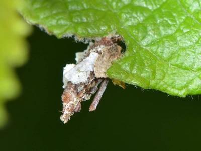 Proutia betulina [Famille : Psychidae]