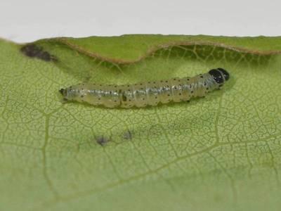 Anacampsis populella [Famille : Gelechiidae]