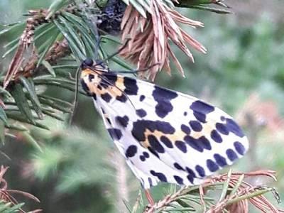 Abraxas grossulariata [Famille : Geometridae]