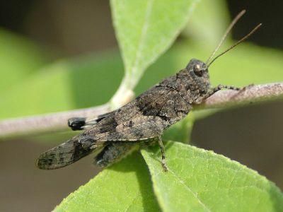 Oedipoda caerulescens [Famille : Oedipodinae]