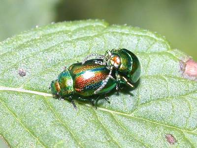 Chrysolina fastuosa [Famille : Chrysomelidae]