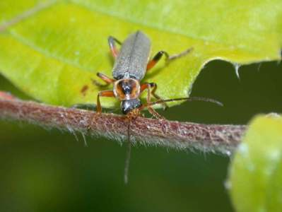 Cantharis nigricans [Famille : Cantharidae]
