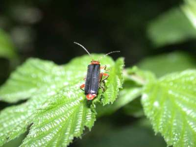 Cantharis pellucida [Famille : Cantharidae]