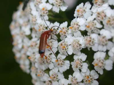 Rhagonycha fulva [Famille : Cantharidae]