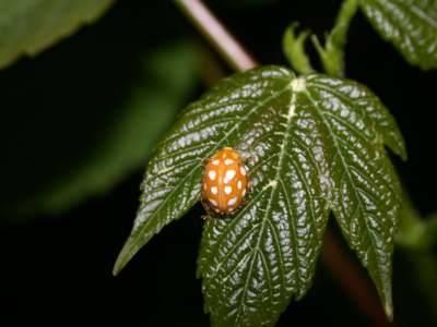 Halyzia sedecimguttata [Famille : Coccinellidae]