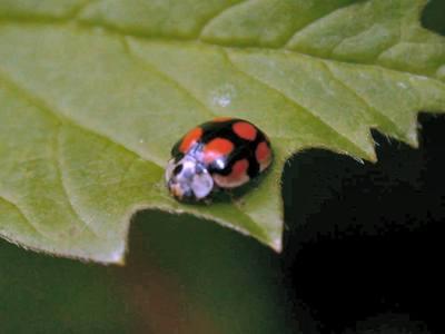 Adalia decempunctata [Famille : Coccinellidae]