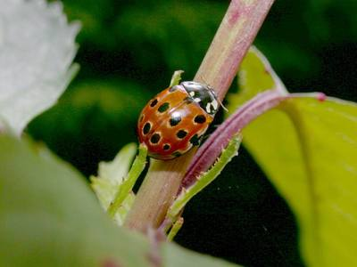 Anatis ocellata [Famille : Coccinellidae]