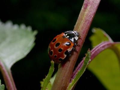 Anatis ocellata [Famille : Coccinellidae]